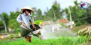 Nông dân đang canh tác rau trên chính thửu rau của gia đình - Ảnh: Internet