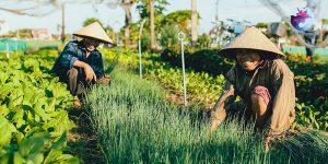 Nông dân Làng rau Thuận Nghĩa được trồng theo phương pháp hữu cơ truyền thống - Ảnh: Internet