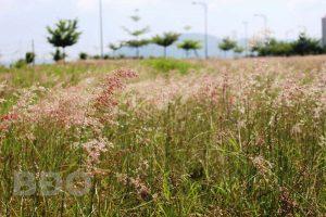 Đồi cỏ hồng bên khu dân cư An Phú Thịnh. - Ảnh Báo Bình Định
