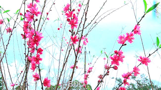 Những cánh hoa đào đẹp lung linh