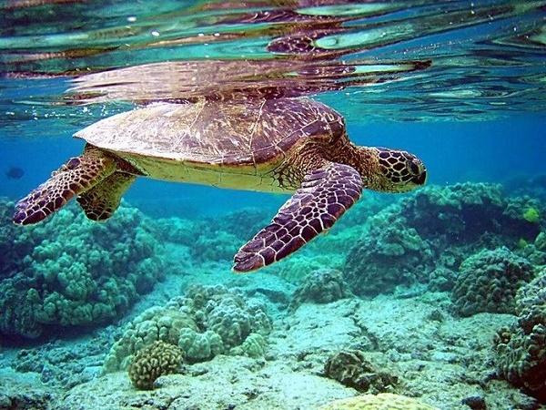 Rùa biển ở Hòn Khô