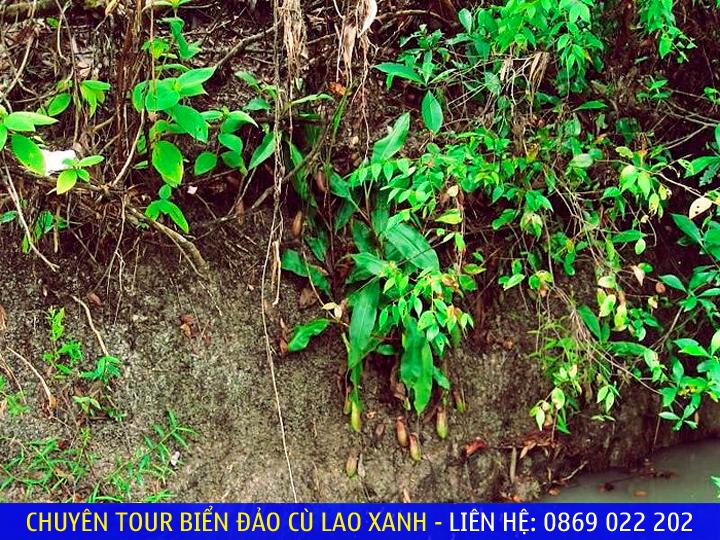 Cây nắp ấm mọc ven suối nước nóng Hội Vân - Ảnh: Dungsawaco