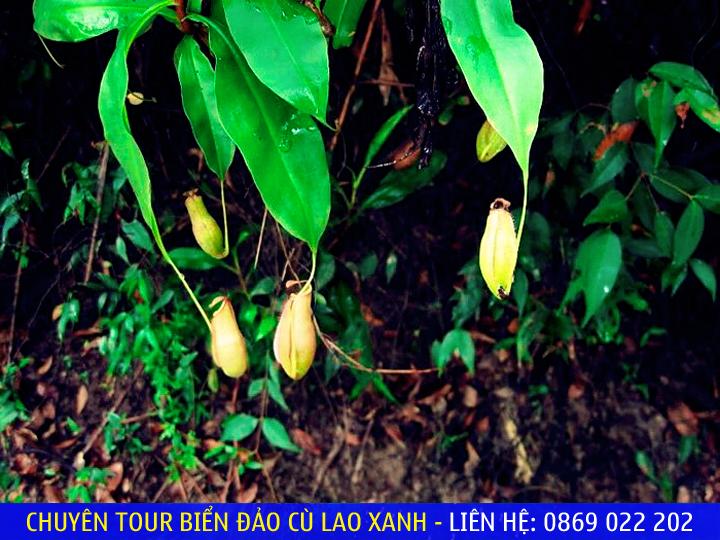 """Hiếm có nơi nào có nhiều cây """"ăn thịt"""" như ở Hội Vân - Ảnh: Dungsawaco"""